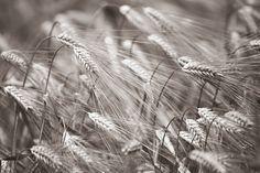 Barley Heads - Sepia