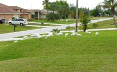 Ibis feed on lawns foraging for grubs and insects