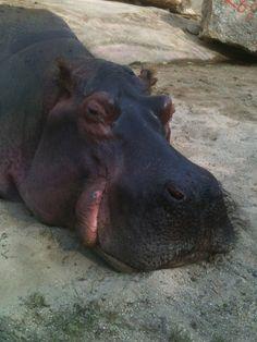 Enjoying the first sun in spring. Hippopotamus, Zoo of Vienna, Austria. Vienna Austria, Hippopotamus, Old Things, Sun, Spring, Solar