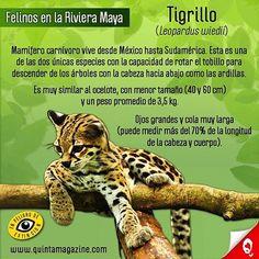 El tigrillo (Leopardus wiedii) mamífero carnívoro, vive desde México hasta Sudamérica. Esta es una de las dos únicas especies con la capacidad de rotar el tobillo para descender de los árboles con la cabeza hacia abajo como las ardillas. Es muy similar al ocelote, con menor tamaño (entre 40 y 60 cm de cabeza y cuerpo) y un peso promedio de 3,5 kg. Ojos grandes y cola muy larga (puede medir más del 70% de la longitud de la cabeza y cuerpo). .  The margay (Leopardus wiedii) is a small cat…