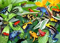 Dendroworld • View topic - Dart Frog jigsaw puzzle