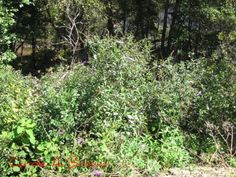 How invasive plants were introduced. What are the most invasive plants? Removal, eradication and control are huge expenses. Native Foods, Invasive Plants, Butterfly Bush, The One, Wild Flowers, Gardening, Landscape, Wildlife, Nature