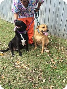 Nashville--Woman's last wish was for her dogs to be adopted together... in 9 days they will be euthanized if a foster or adopter isn't found. Know anyone?? http://www.adoptapet.com/pet/12056723-nashville-tennessee-labrador-retriever-mix  ADOPTED