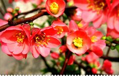 Chaenomeles (Flowering Quince, Japanese Quince, and Japonica) is a genus of deciduous spiny shrubs in the family Rosaceae, comprising three species. Pretty Flowers, Chaenomeles, Plants, Indoor Bonsai Tree, Cool Plants, Bushes And Shrubs, Shrubs, Garden Plants, Flower Guide