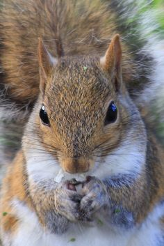 ˚Gray Squirrel