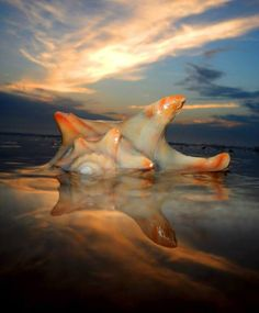 Amelia Island, Florida.  Excellent shell finds at the South End of the Island.  Go to the Beach Access pass the Omni Circle.
