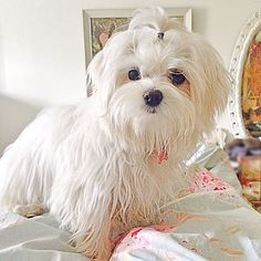 Sweet face Lilly #maltese puppy 7 months
