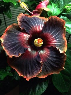 love the fire-shades in this flower. Hibiscus 'Black Rainbow'