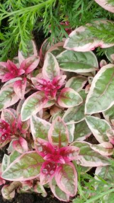 The 81 best plant identification images on pinterest plant fuchsia sunray variegated foilage from red to cream to green has contrasting lipstick pink flowers mightylinksfo
