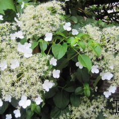 klimhortensia - (half)schaduw - bladverliezend - bloeit mei tot juli