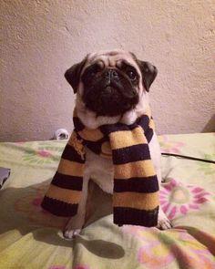 """Amanda Cerodio Godinho no Instagram: """"Olá eu sou a Kakau e sou da Lufa-lufa 💛💙 partiu Hogwarts 😂#Hufflepuff #HP #Pug"""" Hogwarts, Pugs, Amanda, Harry Potter, Instagram Posts, Books, Animals, Libros, Animales"""