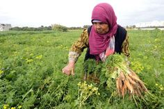 A woman picks carrots in Tunisia. FETHI BELAID (AFP) | 08-03-2011
