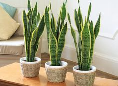 Sansevieria trifasciata houseplants in a planters on a table in a tiny apartment.