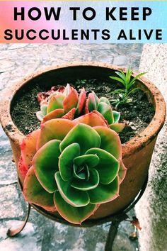 Here you will learn how to keep succulents alive. Types Of Succulents, Succulents Garden, Indoor Succulents, Succulent Care, Plant Care, Houseplants, Beautiful Gardens, Indoor Plants, Garden Design