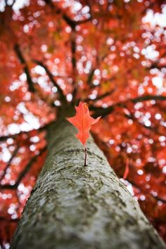 Autumn tree: I like the angle of this shot because it enhances the trees large size. Additionally I like the shallow depth of field, focussing the lower leaf yet enhancing its colour with the out of focus background.