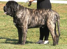 """The breed is commonly referred to as the """"Mastiff"""". Also known as the English Mastiff this giant dog breed gets known for its splendid, good nature. Brindle English Mastiff, British Mastiff, English Mastiff Puppies, Tibetan Mastiff, English Mastiffs, Mastiff Breeds, Mastiff Dogs, Giant Dog Breeds, Giant Dogs"""