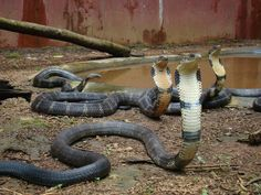 King Cobra   Top 10 most poisonous animals in the world