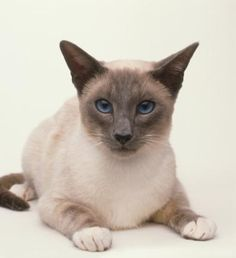 The Snowshoe cat is a rare breed that originates from the US. They are a cross breed between the American Shorthair and the Siamese cat.
