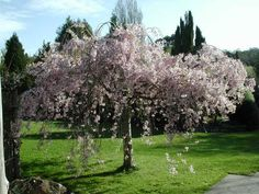 Cherry Tree Pictures contains more photos of cherry trees and links to cherry tree features, we have many beautiful cherry trees Dwarf Cherry Tree, Paw Paw Tree, Color Castaño, Bing Cherries, Prunus, Garden Landscaping, Landscaping Ideas, Fruit Trees, Flower Beds
