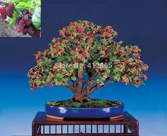 Bonsai-Mulberry