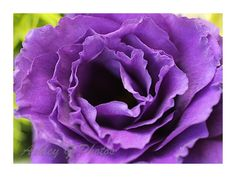 A personal favorite from my Etsy shop https://www.etsy.com/listing/398150273/purple-rose-photograph