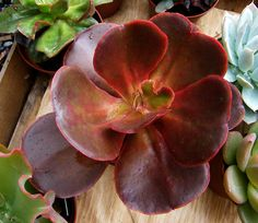 Echeveria 'Mahogany Rose' by Manue64, via Flickr (I have one of these, I wonder if you'd like on the terrace?)