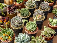 Water stress is one of the primary reasons that succulent plants experience wilting. However, there are other cultural practices that cause succulent wi... - World of Succulents - Google+