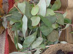 VERDE CLARO: folhas de eucalipto.