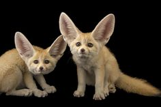 photo by @joelsartore   My what big ears you have! These baby fennec foxes at the @stlzoo are sweet as can be at just 10-weeks old. Their huge ears evolved to hear predators and prey in the Sahara desert and also to dissipate heat and keep them cool.  Follow me @joelsartore to see more members of the #PhotoArk and learn more about the efforts to protect these and other desert animals at http://ift.tt/1FY38o3. #joelsartore #photooftheday #fox #ears #desert by natgeo