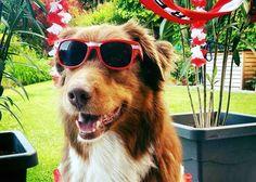 Urlaub mit Hund in Österreich. Bundesländer & Einreisebestimmungen für Haustiere.... Am Bild: Rusty... (c) Silvia Zuschnig
