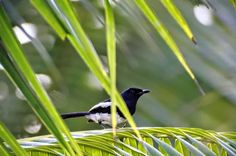 Among the palm trees around our House we have this little fellow.  Oriantal Magpie-Robin (Copsychus saluaris)