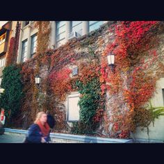 a mixture of green, pink, red, orange, yellow, and brown is the transition from fall to winter ⛄ ..they're all gonna fall off and this wall will turn to brown completely soon   --Boston University College of Fine Arts 2012.11.14
