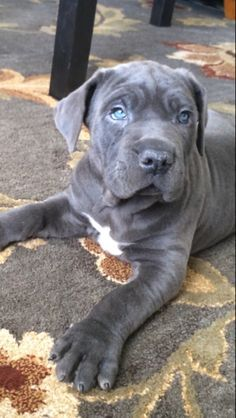 8 Best Blue Cane Corso Puppies Images Blue Cane Corso Cane Corso