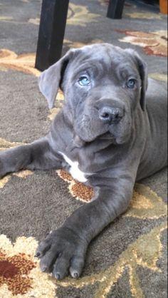Diesel - Cane corso puppy
