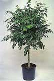 CUIDADOS Ficus benjamina