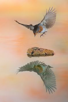bird...hovering and reflection in water.......Acción