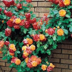 Joseph's Coat Rose Climbing planting these in the front corner of the flower bed can't wait
