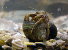 Hermit crabs use the shells of dead snails to protect their soft lower bodies. But crabs exposed to acidified waters seem to have trouble smelling and choosing a good shell. Lower Bodies, Hermit Crabs, Deep Blue Sea, Snails, Oceans, Shell, Animals, Animales, Animaux