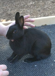 This is my handraised little girl, Cleo, at about 6 months. A Britannia Petite Rabbit, who just didn't want to pose.