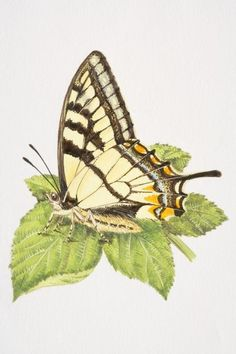 Print of Swallowtail butterfly (Papilio machaon) with closed wings, resting on a leaf
