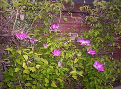 Pauline's Flowers - Clematis.