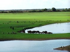 This is the Los Llanos plains in  Venezuela. It is one of the fertile tropical grassland in the world. You can come here to one of the 100 species of mammals, 300 species of bird, or to see the Orinoco River, which cuts straight through the plains.