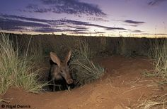 The aardvark is an adept digger.  It constructs three different types of burrow: shallow holes when hunting for food; temporary shelters; and extensive systems of tunnels when the young are born. The aardvark is regarded as a keystone species as the holes it digs are utilised by many other species, including snakes, lizards, hyenas and wild dogs. The aardvark is mainly nocturnal (or night-active) and it emerges from its burrow to feed in the dark.