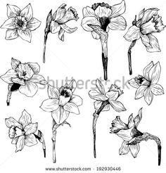 narcissus line drawing | Stock Photos, Illustrations, and Vector Art similar to Image ID ...