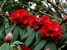 "Bloom Color:  Red    Bloom Season:   Early Season    Plant Height(potential in 10 years): Six Feet    Hardy to: -5    Rhododendron of the Year:  2013 Mid Atlantic, 2015 North West, 2009 South East, 2007 South West    Flower vivid and strong red with darker throat and black spots on dorsal lobe, campanulate, 3½"" across.  Large ball-shaped truss holds about about 16 flowers.  Blooms early midseason.  Deep red winter buds.  Leaves elliptic with acute apex and rounded base, about 7″ long, dark…"