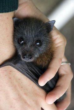 Morcego gigante filhote