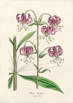 Crin de padure (Lilium martagon)