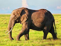 African elephant | Free Photo #Freepik #freephoto #gold #travel #summer #nature Elephant Eye, Elephant Walk, Elephant Family, Asian Elephant, Baby Elephant, Addo National Park, Bactrian Camel, Herd Of Elephants, Thailand Elephants