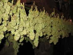 It can be hard to determine when to harvest your cannabis plants. Read the trichomes to harvest at just the right time and learn about cutting and drying. Marijuana Plants, Cannabis Plant, Cannabis Oil, Cannabis News, Weed Seeds, Cannabis Growing, Growing Marijuana Indoor, Buy Weed Online, Herbs