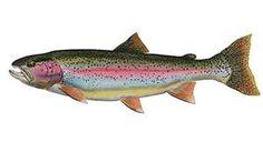 Rainbow Trout! Catch & Filet!